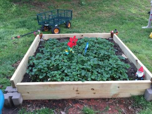 borage strawberry raised bed garden gnome georgia