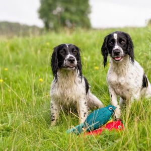 Two springer spaniels training with dummies