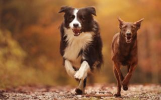 two dogs running down an autumn lane towards the camera