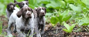 pointer puppies in a field