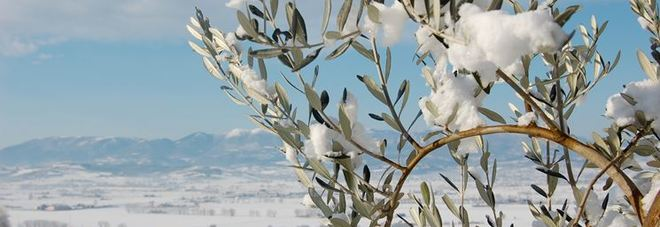 Gelate 2018, dalla Regione contributi per riprendere la produzione olivicola
