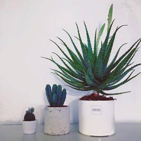 kaktus w