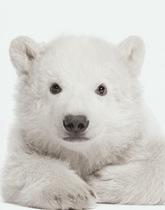 naklejka miś polarny