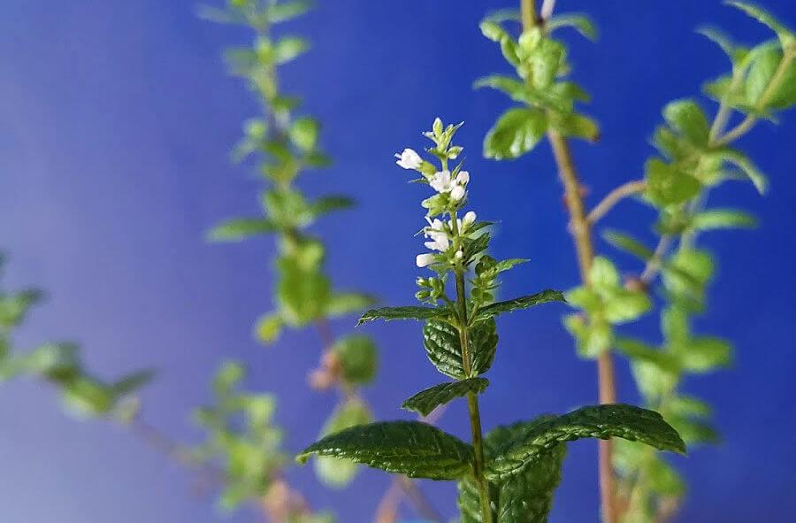 Muntplant in bloei