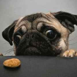 Pug Begging