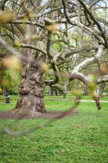 Lužánky, Brno - Platan, památný strom
