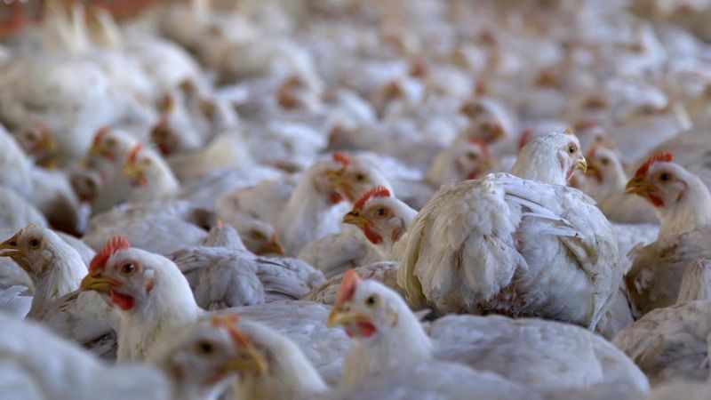Approximately 28-day-old chickens in a commercial indoor system. (c) World Animal Protection