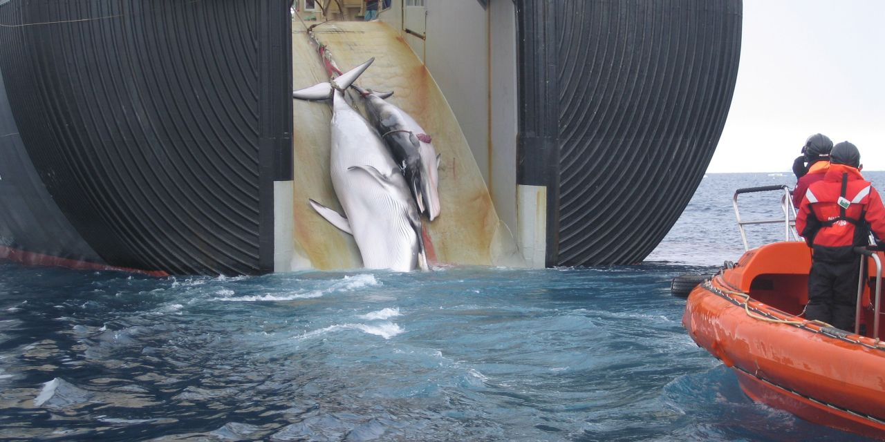 Progress for Whales! A New Blow to Japan's 'Scientific' Whaling