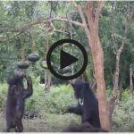 Video: 'Dancing Bears' Can't Resist Watermelon Pinata