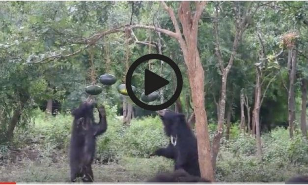 Video: 'Dancing Bears' Can't Resist Watermelon Pinata