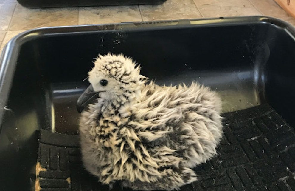 Climate Change Forces Albatross Chicks to Find New Nesting Grounds