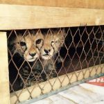 Cheetah Cubs Rescued In the Nick of Time From Illegal Trafficking