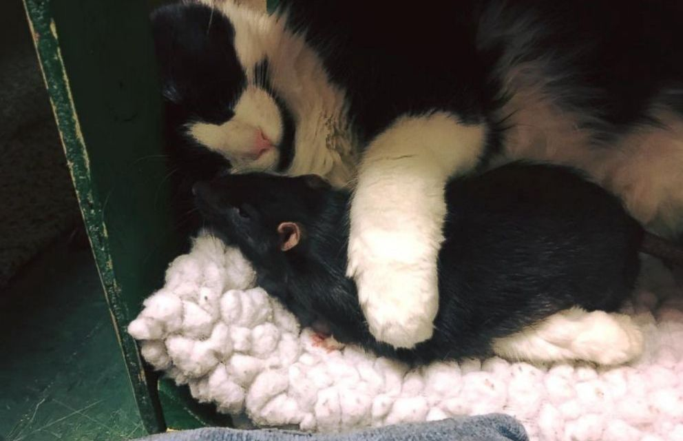 Cat, Dog, and Rat Best Friends Refuse to be Separated