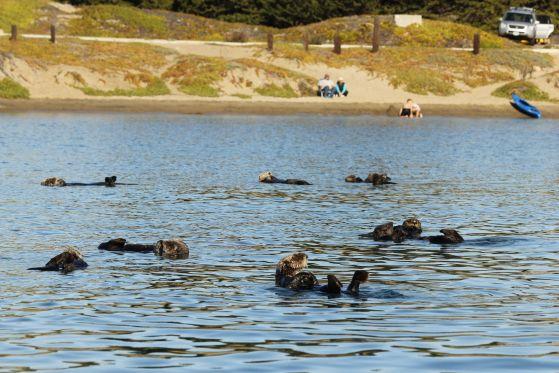 Sea otters at Morro Bay, CA.