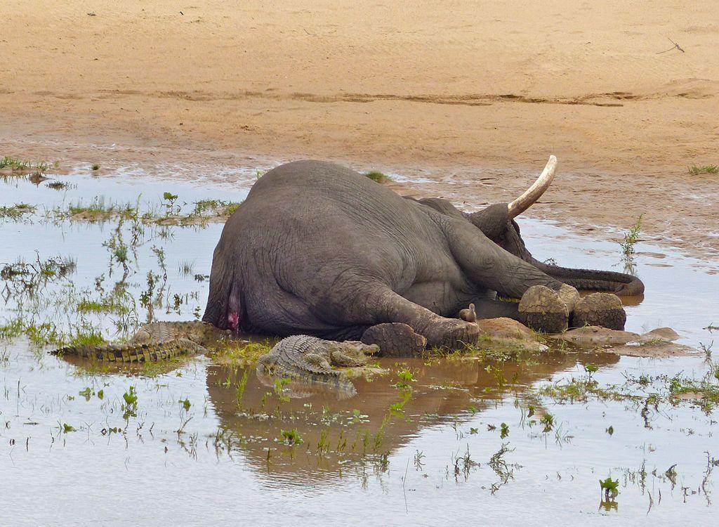 Trophy Hunter Shot Dead Rare Large-Tusked Elephant