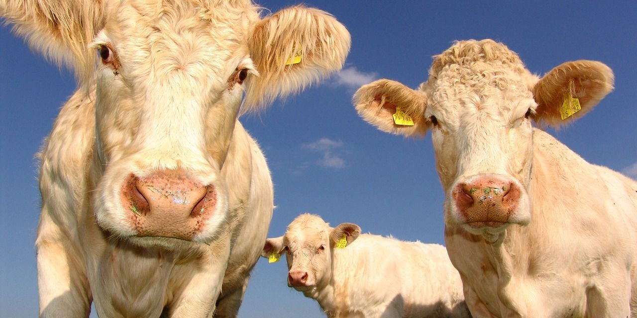 Meat Industry Giant Sells Off Cattle Feed Yards and Invests in Plant-based Food