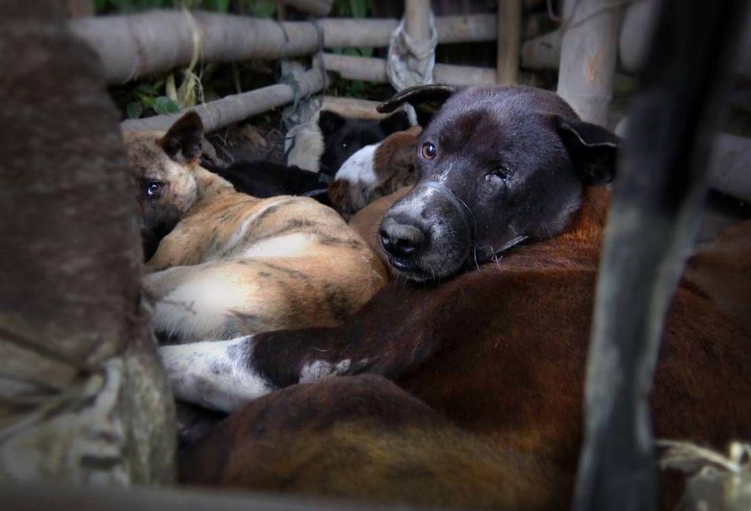 bali dog meat