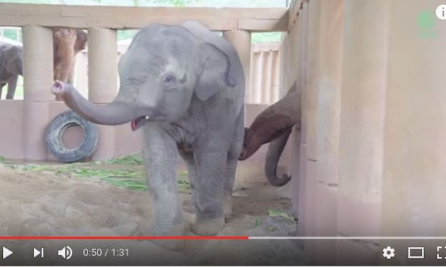 VIDEO – Elephants Run To Greet A New Rescued Baby Elephant
