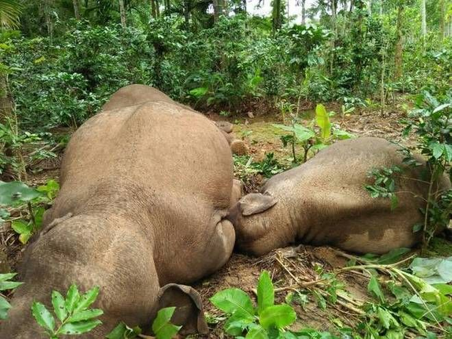 10 Elephants Electrocuted to Death in Karnataka, India in Past 3 Months