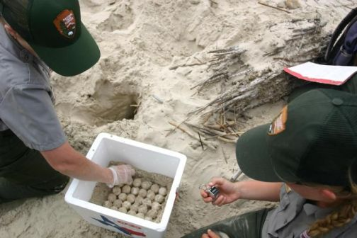 Conservationists collect sea turtle eggs to incubate them.