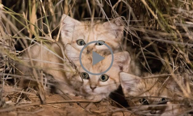 VIDEO: Rare Wild Kittens Caught on Tape for the Very First Time