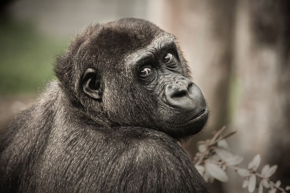 The Illegal Chocolate Trade Is Killing Chimpanzees and Elephants