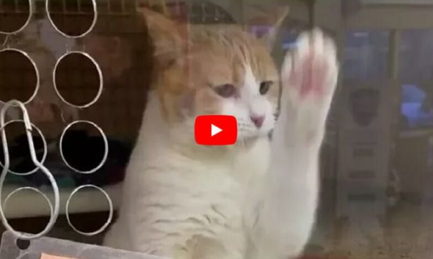 VIDEO: Clever Kitty In Need of Forever Home Takes Matters into Her Own Paws