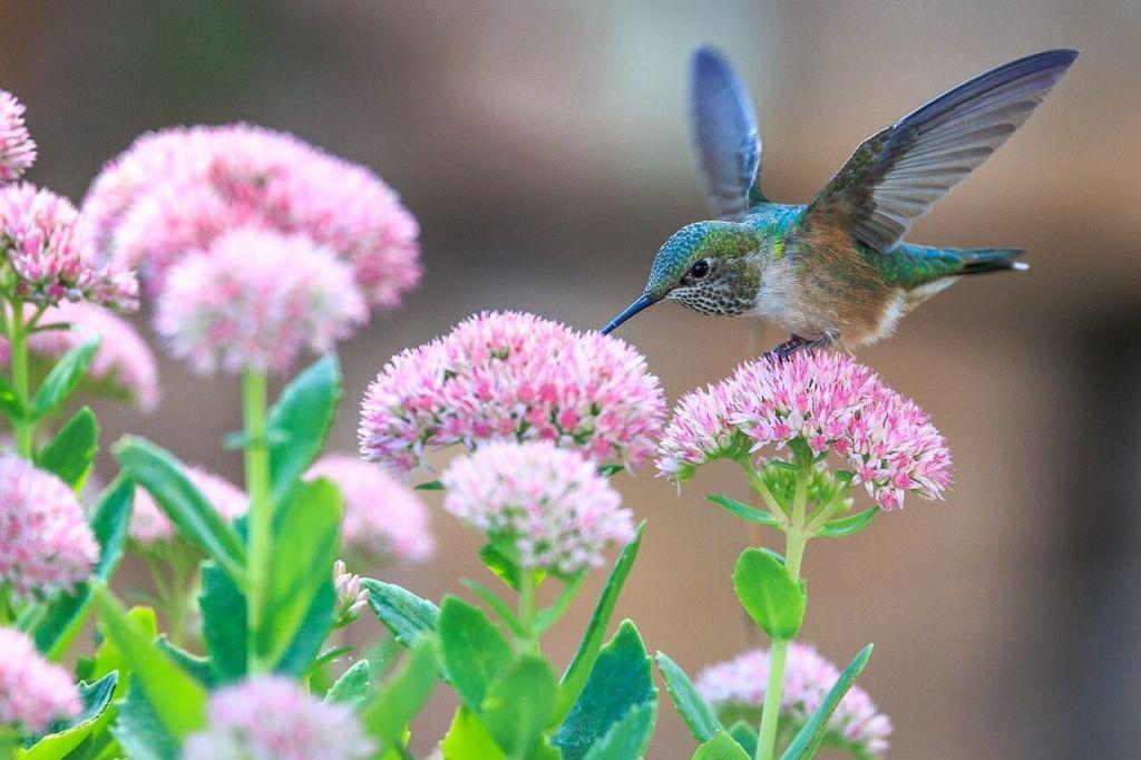 Hummingbird feeding on garden flowers