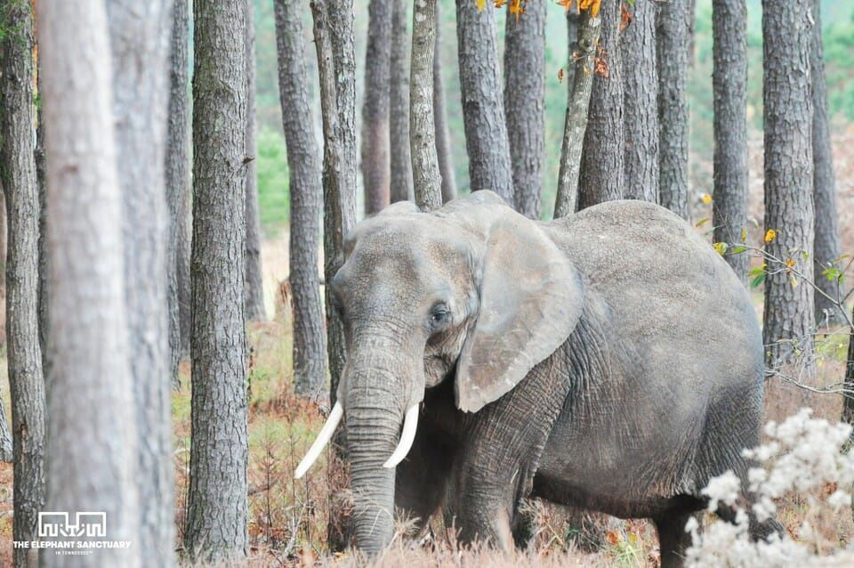 VICTORY! Nosey the Elephant will Never Be Forced to Perform Again