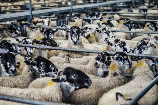 Sheep on a farm.