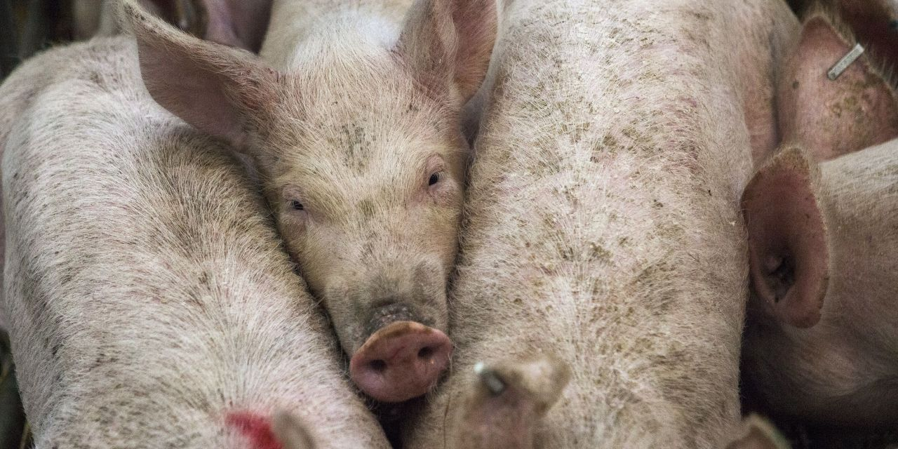 America is the World's 2nd-Cruelest Country to Farmed Animals