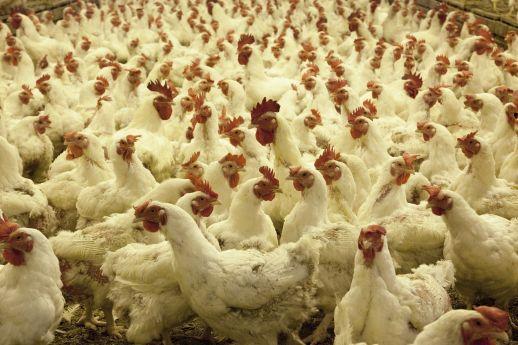 Chickens on a farm.