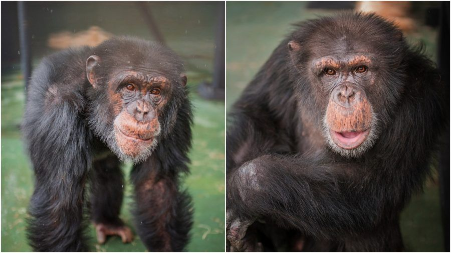 Two Chimps Used in Cruel Lab Experiments Finally Freed to a Sanctuary