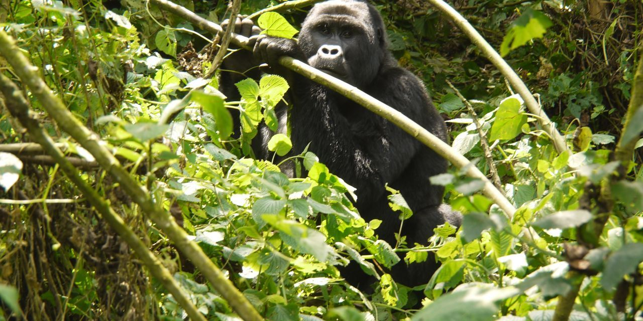 Smart Mountain Gorillas Have Learned How to Dismantle Poachers' Traps