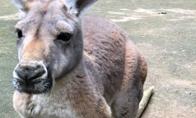 SIGN: Justice for Kangaroo Pelted to Death with Rocks at Chinese Zoo