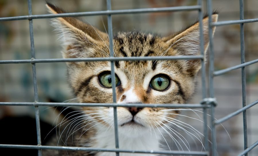 SIGN: Pass the KITTEN Act to Ban Cruel USDA Experiments on Cats