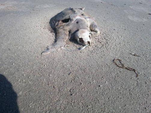 Sea turtles die from eating balloons.