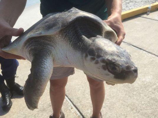 Rescued Sea Turtle off the coast of North Carolina