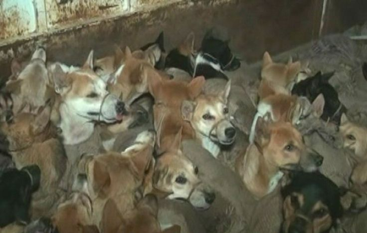 SIGN: Justice for 60 Dogs Kidnapped by Cruel Dog Meat Traders