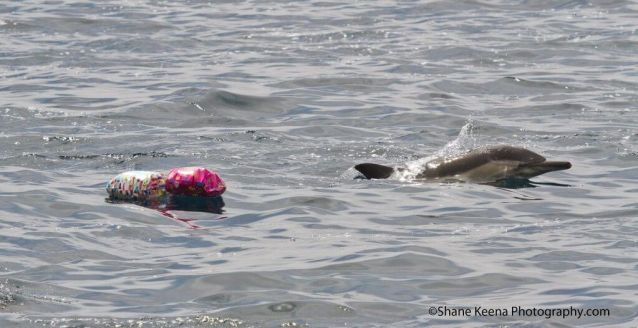 Dolphin swimming next to balloons.