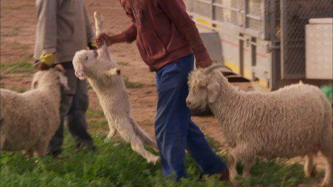 Zara, H&M and Gap Promise to Ban Mohair After Animal Cruelty Investigation