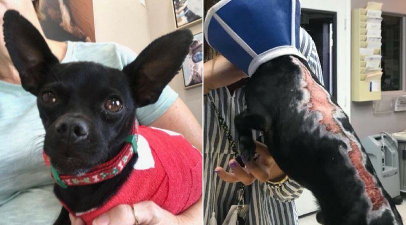 SIGN: Justice for Tiny Chihuahua Brutally Burned in Public Park