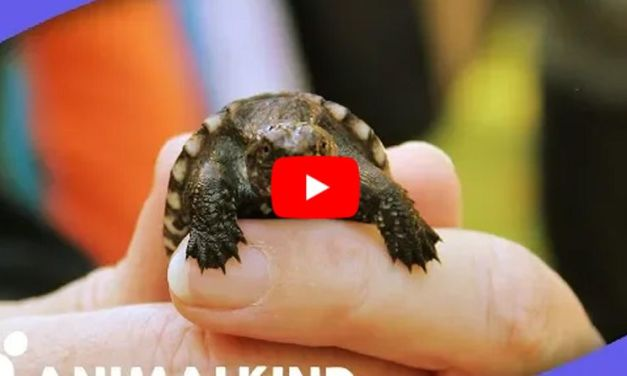 VIDEO: These All-Volunteer Crossing Guards Stop Traffic so Turtles Can Cross the Road Safely