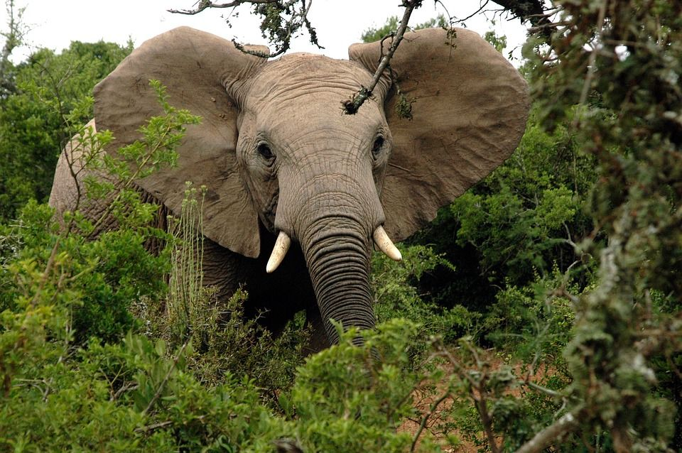 Suspected Poacher Arrested After being Trampled by Elephants