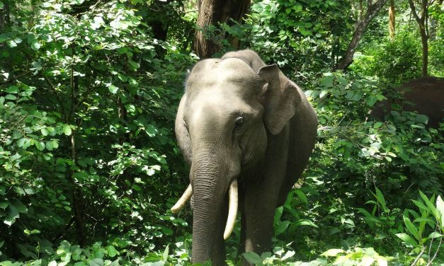 Two More Elephants Killed by Speeding Trains in India