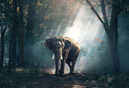elephant walking in forest