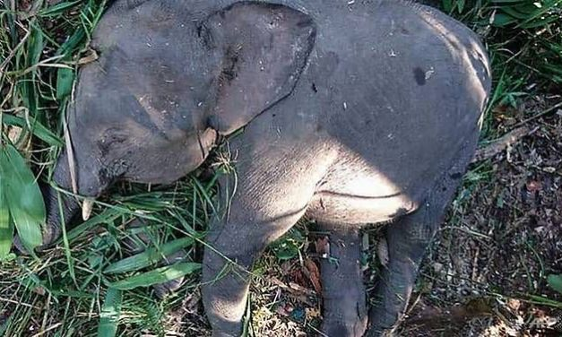 SIGN: Justice for Endangered Pygmy Elephant Shot Dead for Revenge