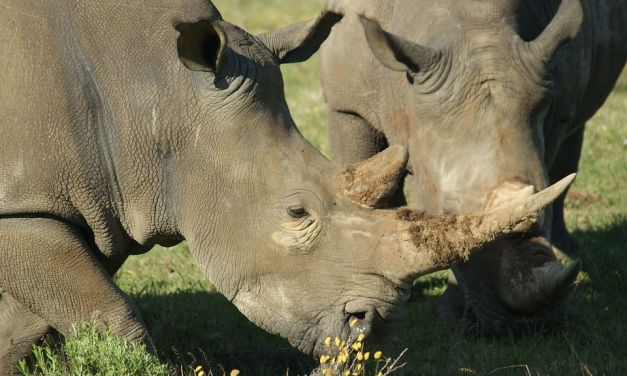 Rhino Task Force Convicts 365 Suspected Poachers in Just Six Months