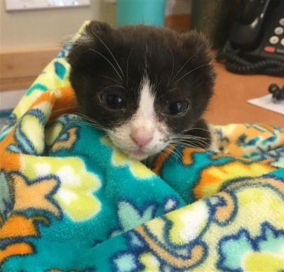 Kitten with ears sliced off