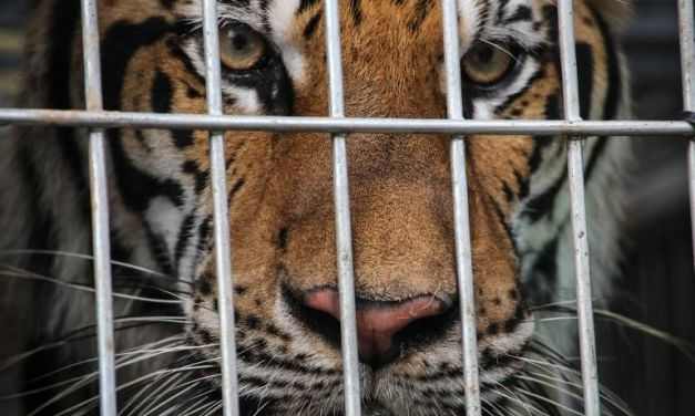 Tiger Farms Still A Huge Problem Throughout Asia